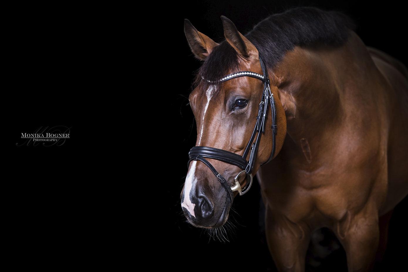 Warmblut, Pferde im Studio, Pferde vor schwarzem Hintergrund, Pferdefotografie, Springpferd