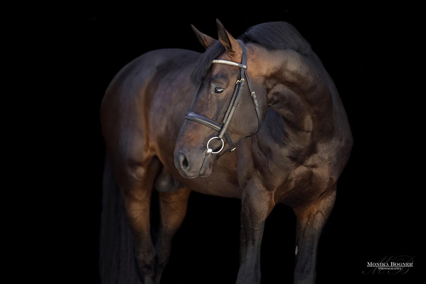 Pferd vor schwarzem Hintergrund, Springpferd, Warmblut, Pferdefotografie