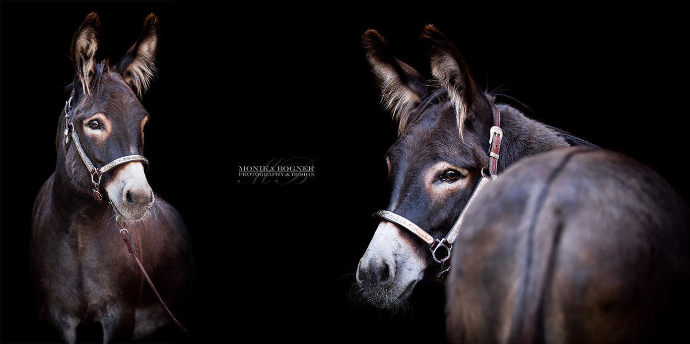 Esel, Fotos vor schwarzem Hintergrund