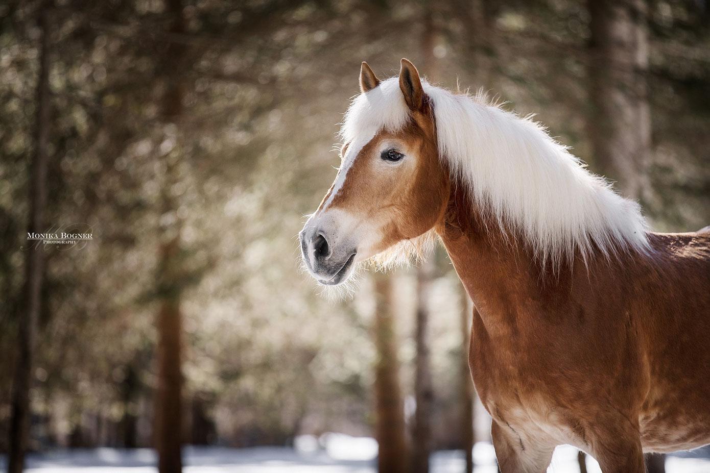 Haflinger, Pferdeshooting, Pferdefotografie
