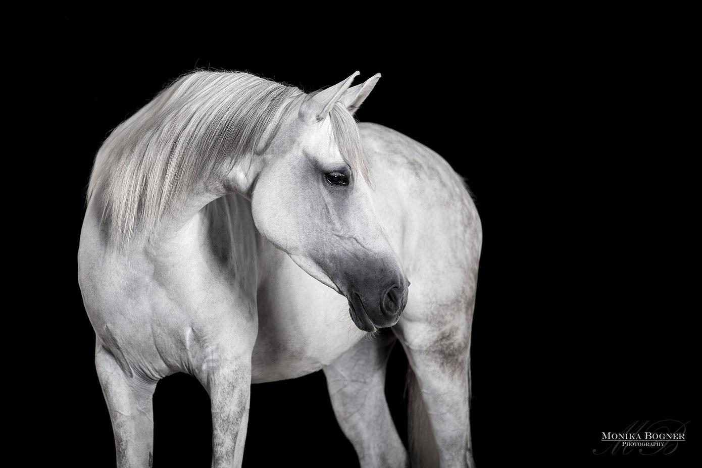 Pferde im Studio, Pferde vor schwarzem Hintergrund, Pferdefotografie, Schimmel, Araber