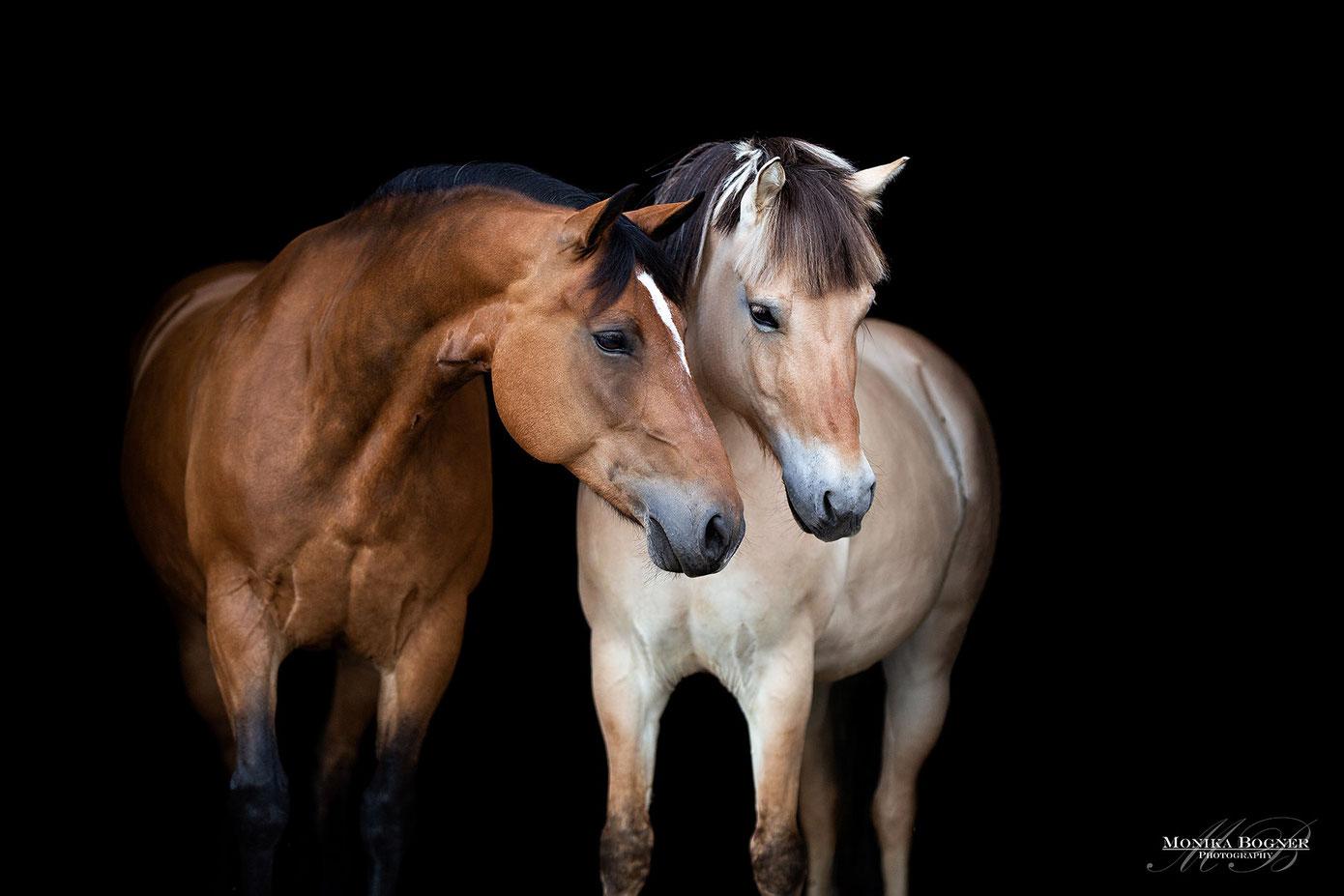 Pferde vor schwarzem Hintergrund, Norweger