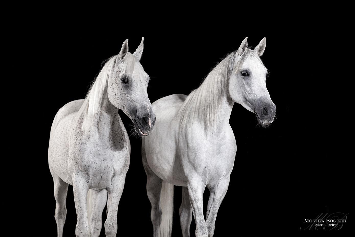 Pferde im Studio, Pferde vor schwarzem Hintergrund, Pferdefotografie, Araber Stute mit Fohlen, Schimmel