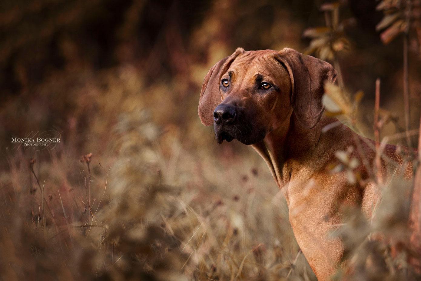 Rhodesian Ridgeback, Hunde Fotoshooting