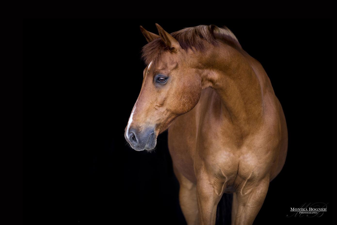 Fotos vor schwarzem Hintergrund, Dressurpferd, Fuchs