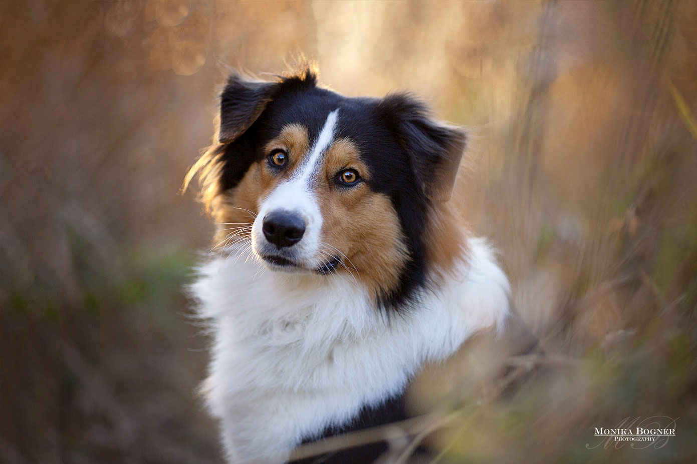 Australian Shepherd beim Fotoshooting, Aussie, Hundeshooting