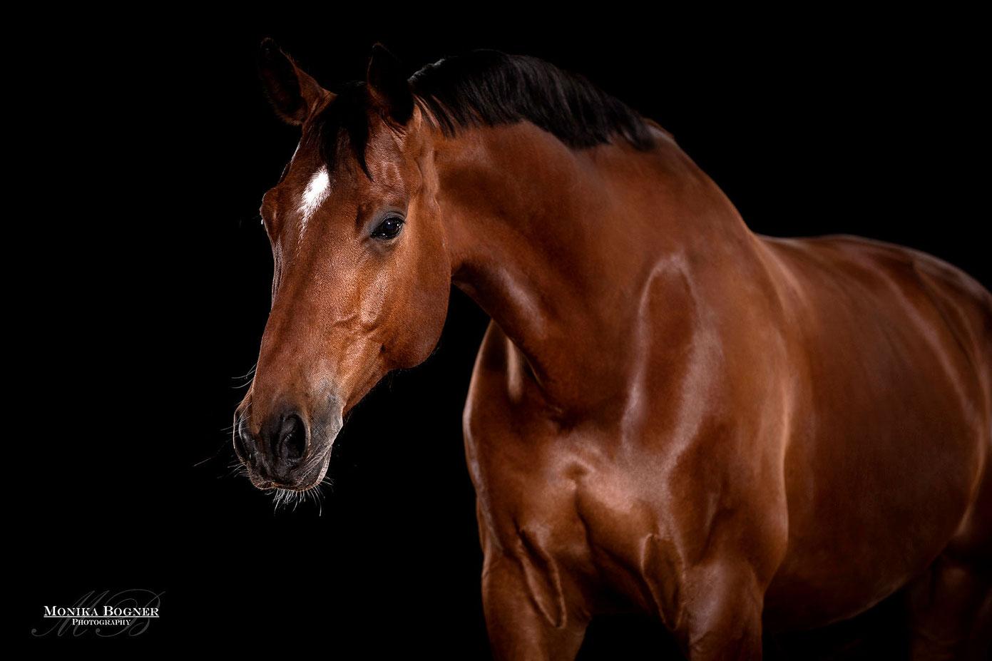 Warmblut, Pferde vor schwarzem Hintergrund