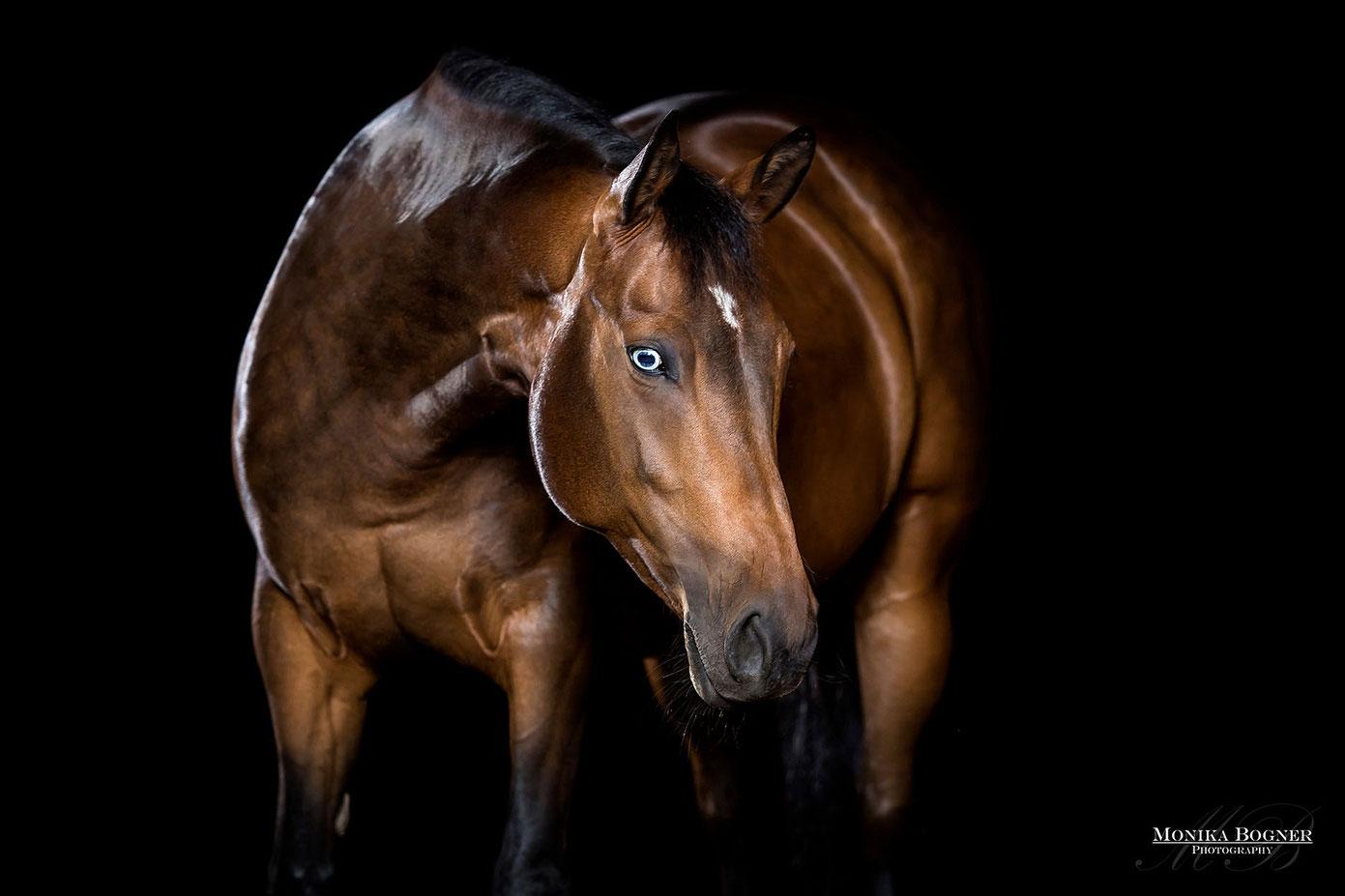Quarter Horse, Pferde im Studio, vor schwarzem Hintergrund