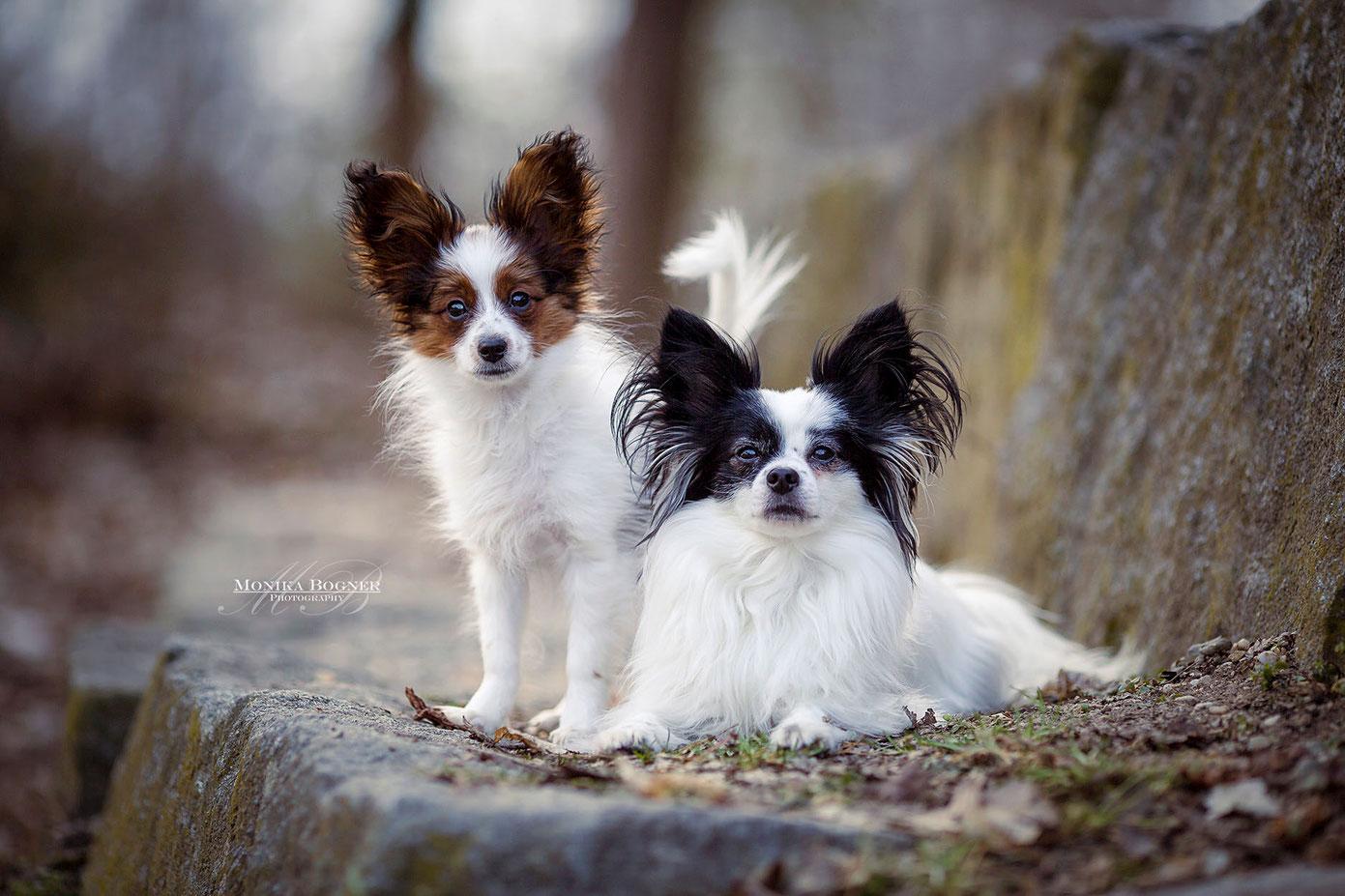 Hundeshooting, Papillion Hunde