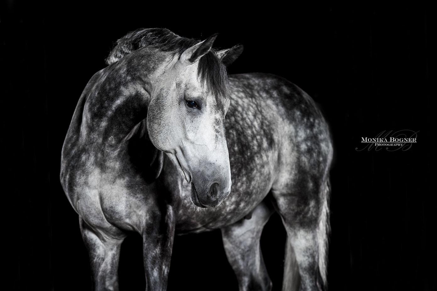 Pferde im Studio, Pferde vor schwarzem Hintergrund, Pferdefotografie, Apfelschimmel, Dressurpferd