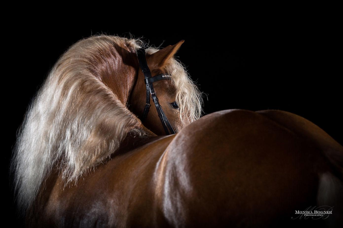 Kaltblut, Pferde im Studio, vor schwarzem Hintergrund
