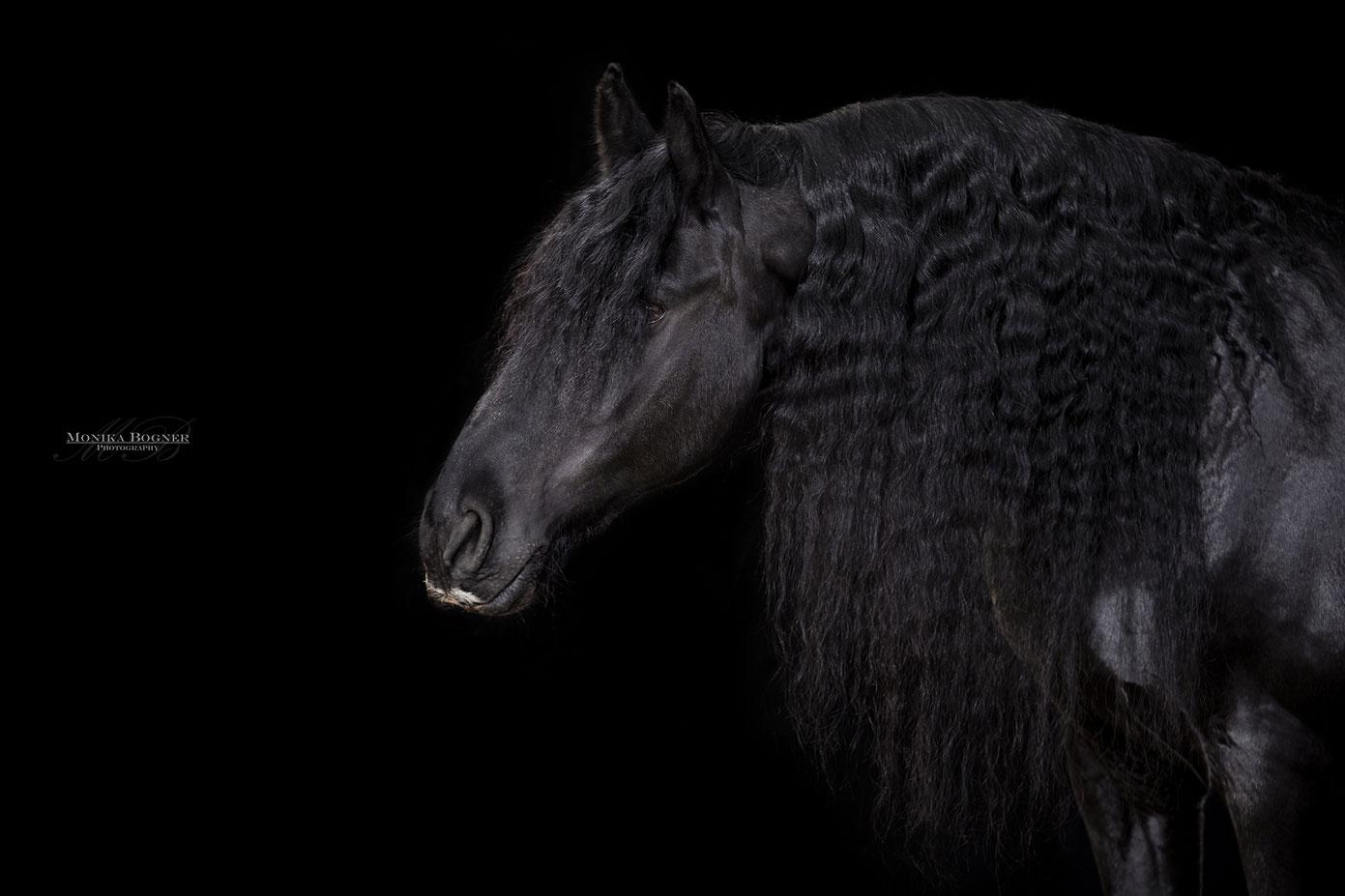 Friese, Pferde im Studio, Pferde vor schwarzem Hintergrund, Pferdefotografie