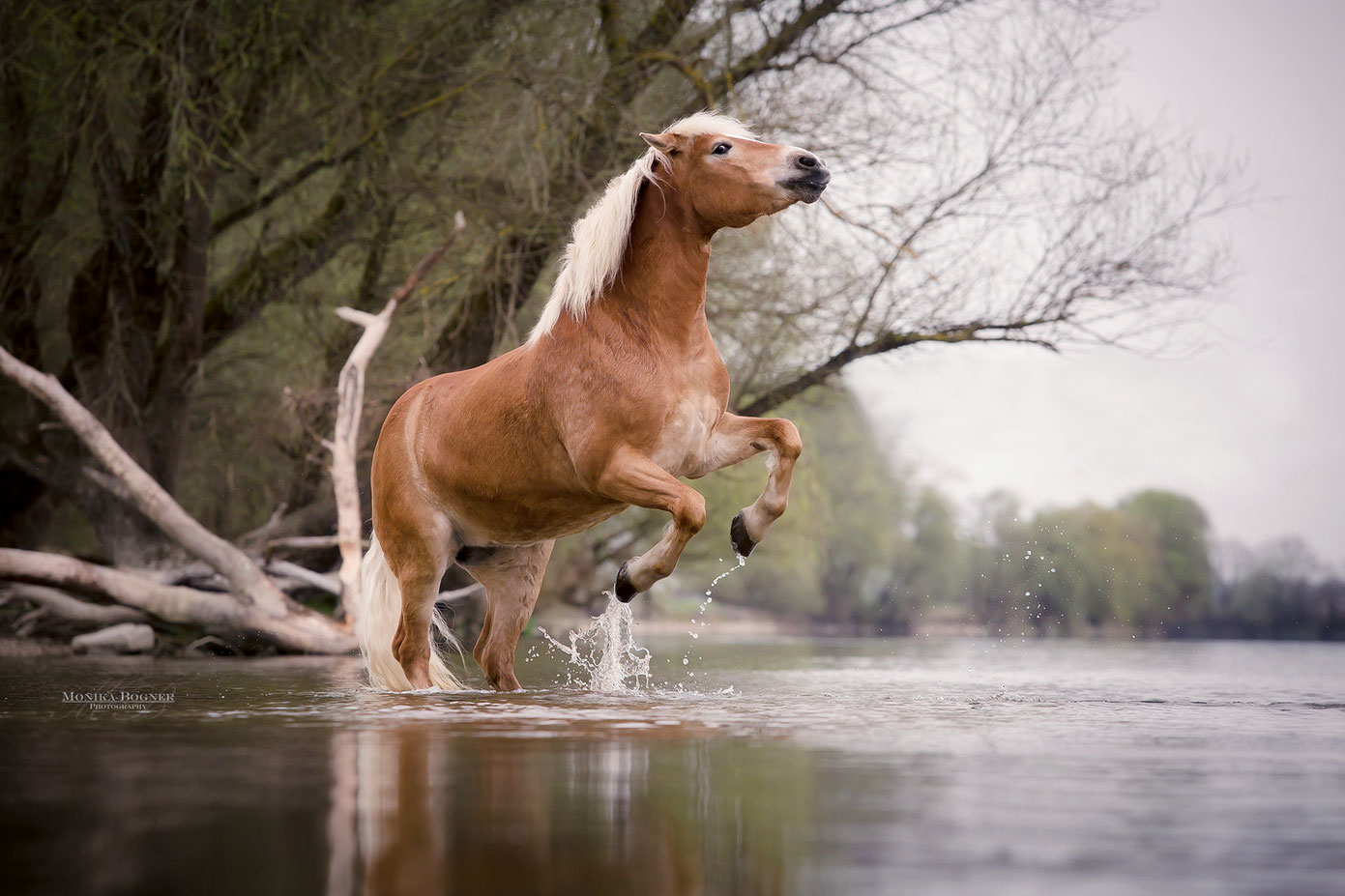 Haflinger Freiheitsdressur steigendes Pferd