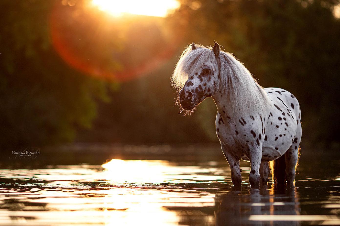 Pferdefotografie, Pony im Wasser bei Sonnenuntergang
