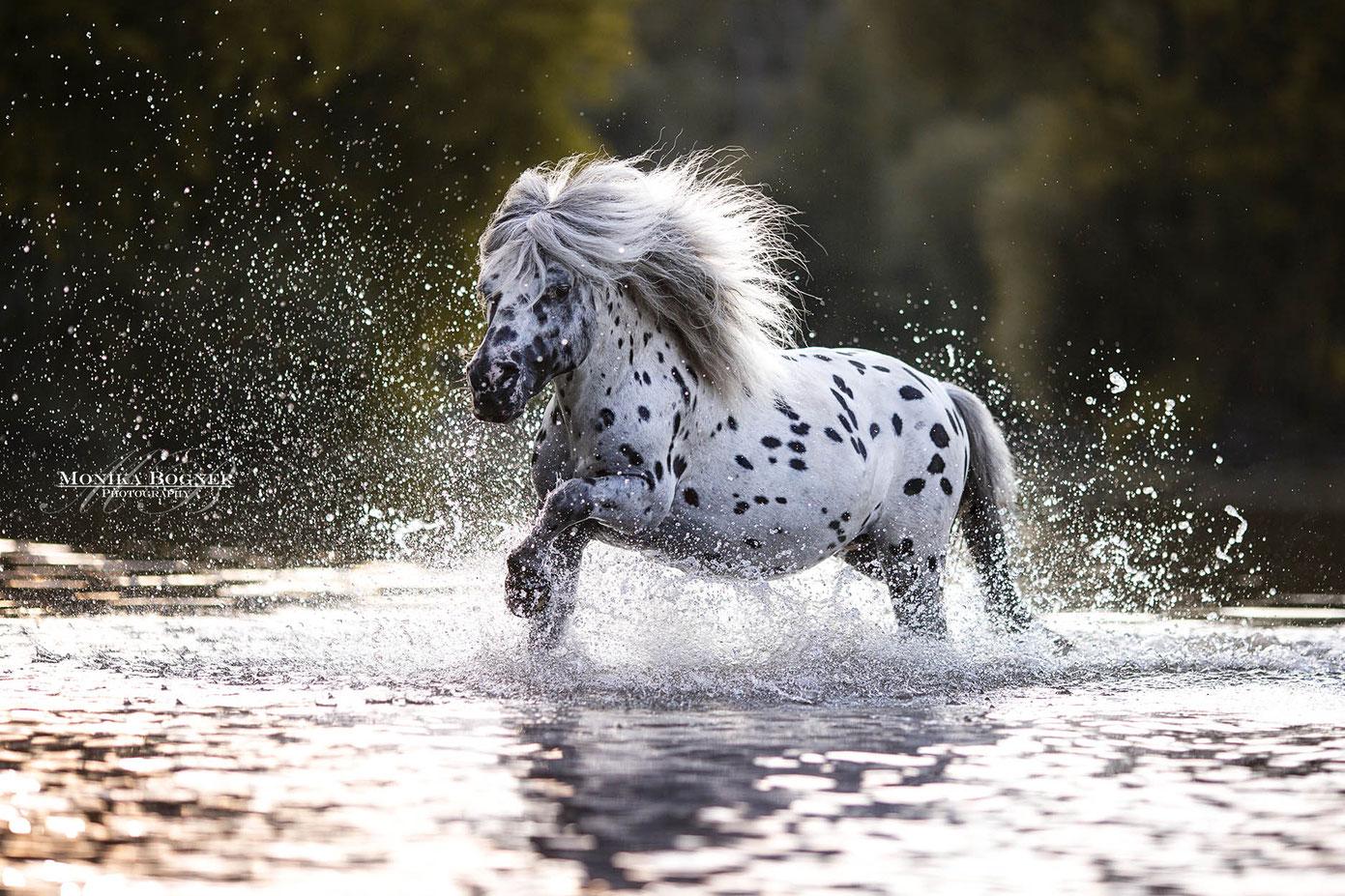 galoppierendes Pony im Wasser beim Fotoshooting