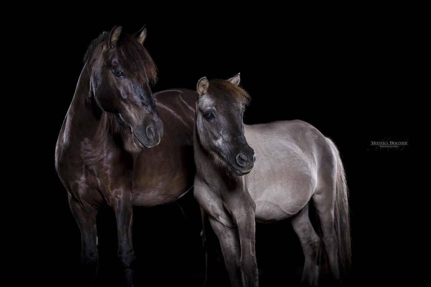 Ponys, Pferde im Studio, Pferde vor schwarzem Hintergrund, Pferdefotografie