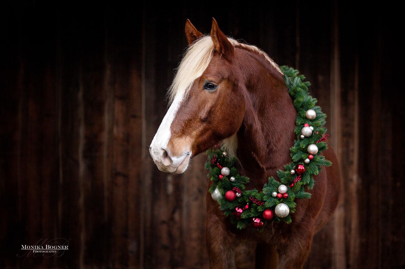 Pferdeshooting mit Weihnachtskranz, Süddeutsches Kaltblut