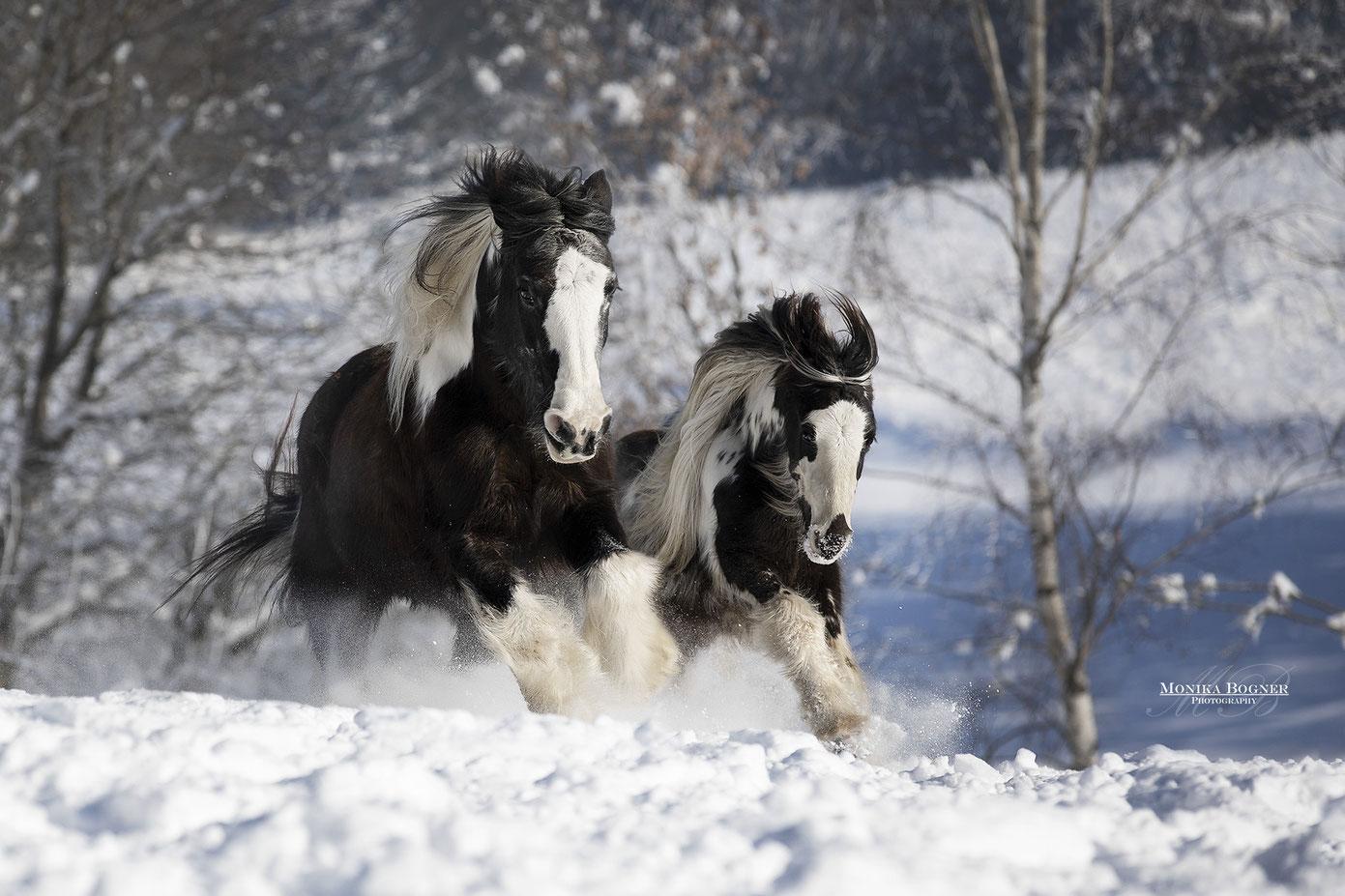 zwei Tinker - Irish Cob im Schnee beim Fotoshooting im Winter