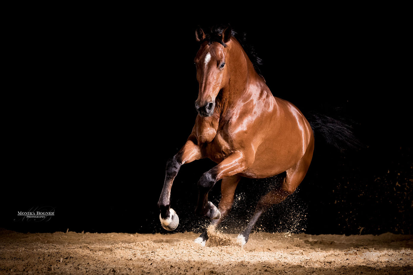 Pferd im Galopp im mobilden Studio, Freilauf, Pferde im Studio, Pferde vor schwarzem Hintergrund, Pferdefotografie, Warmblut