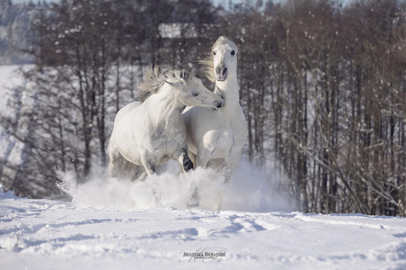 spielende Spanische Pferde im Schnee, PRE beim Fotoshooting mit Pferd