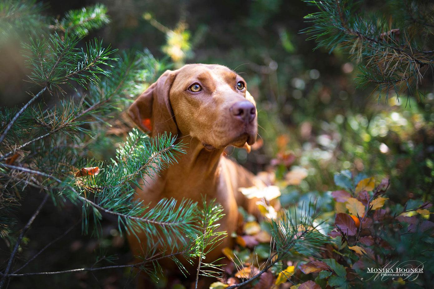 Magyar Vizsla  im Wald beim Hundeshooting
