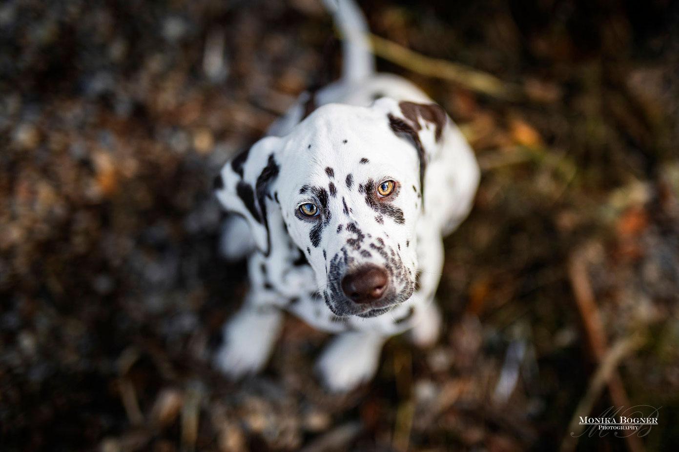 Dalmatiner, Welpe, Hundefotoshooting