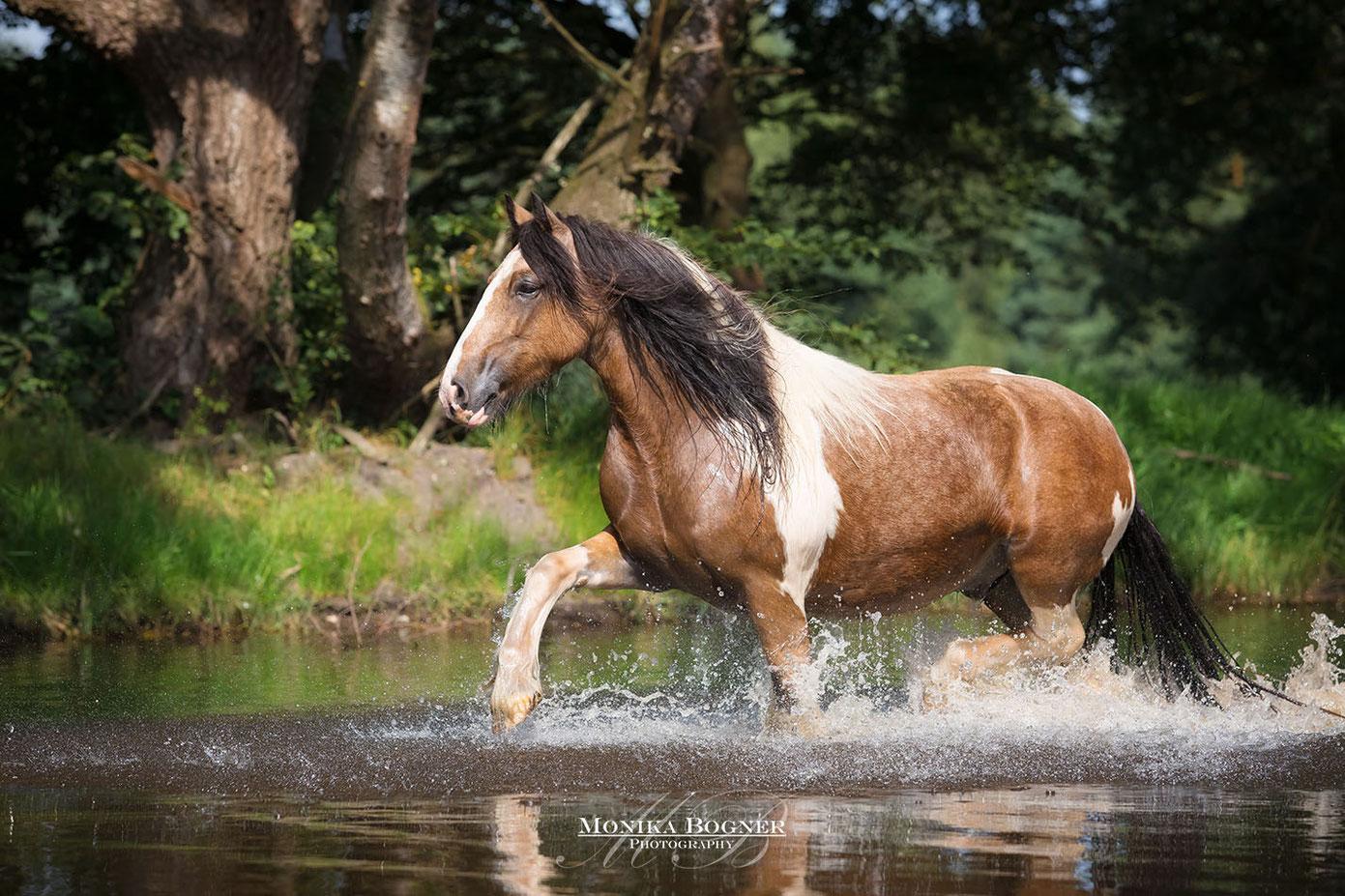 Tinker, Irish Cob im Wasser