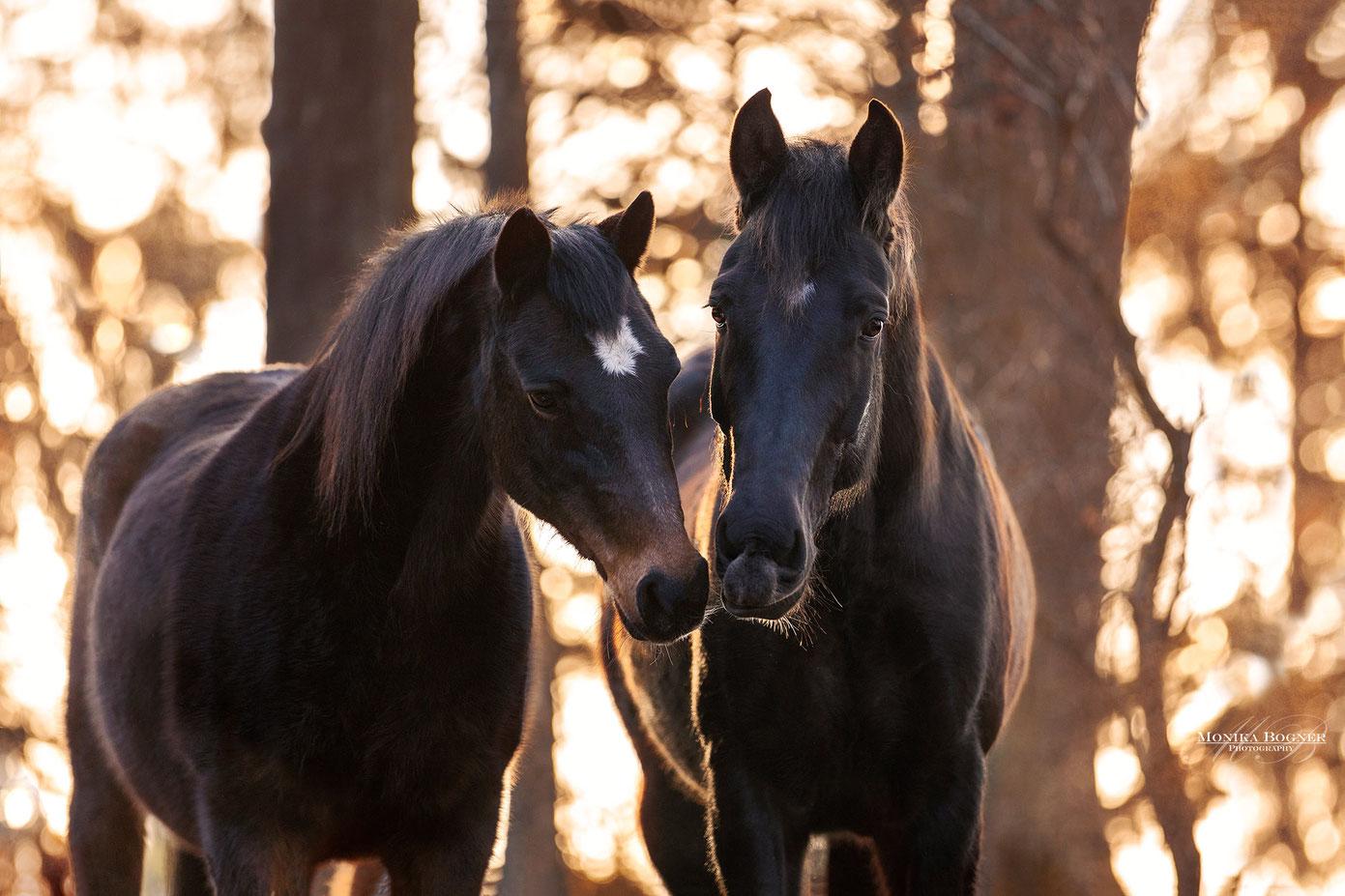 Zwei Pferde im Sonnenuntergang, Pferdeshooting im Winter