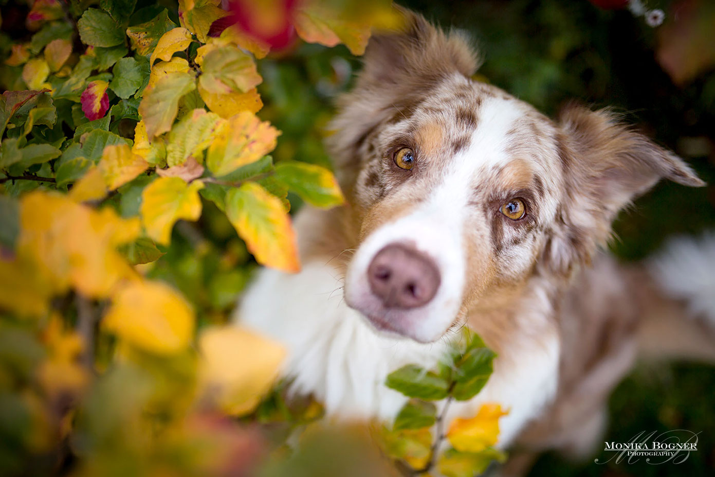 australian shepherd im Herbstlaub, Sigma 35mm