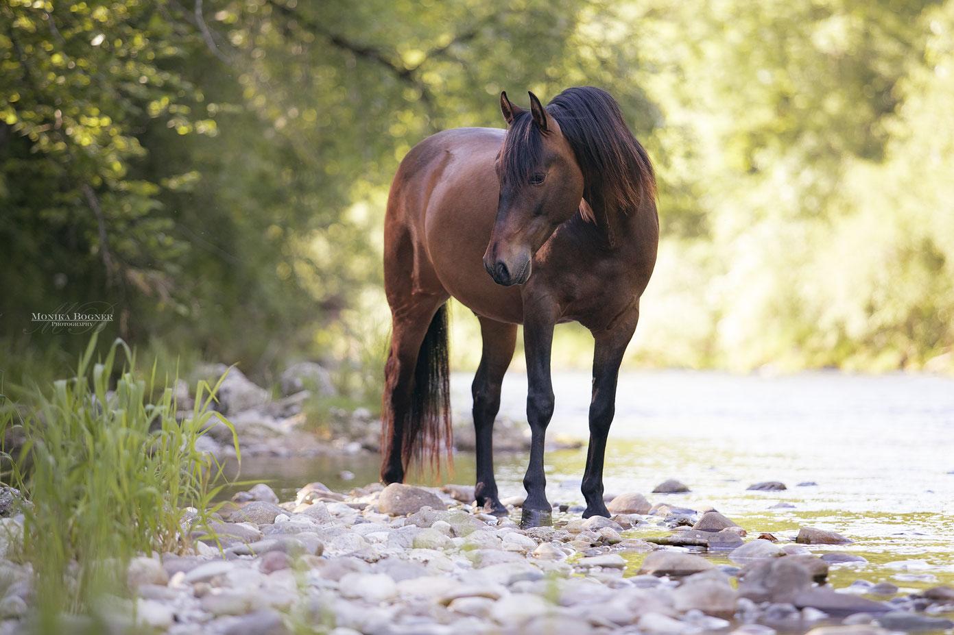 PRE Spanisches Pferd am Wasser