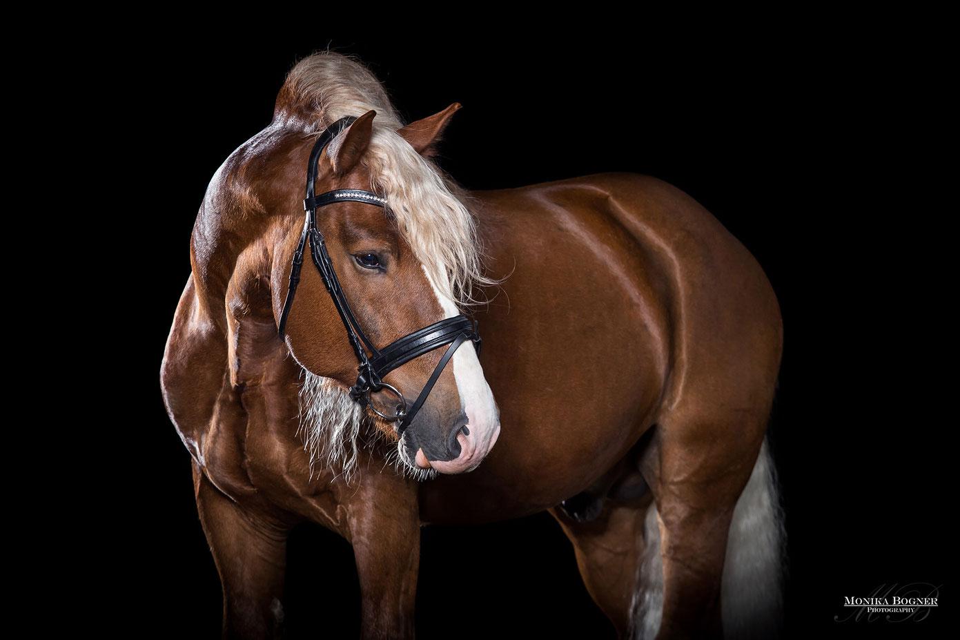 Kaltblut, Pferde im Studio, Pferde vor schwarzem Hintergrund, Pferdefotografie