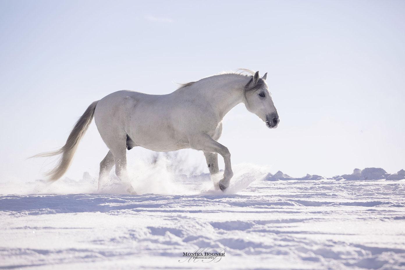 Spanische Pferde im Schnee, PRE