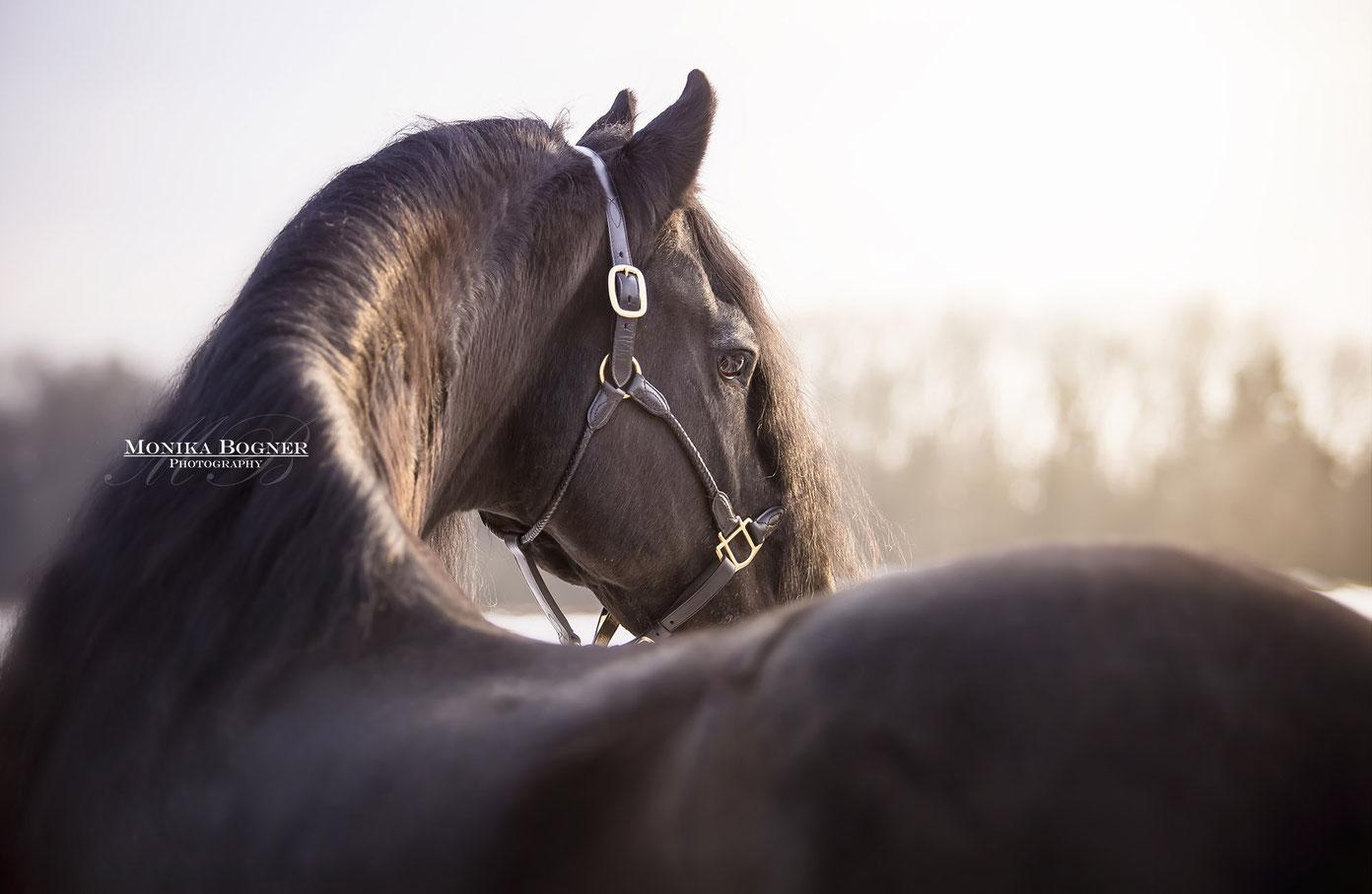 Friesenhengst im Sonnenuntergang, Pferdefotografie