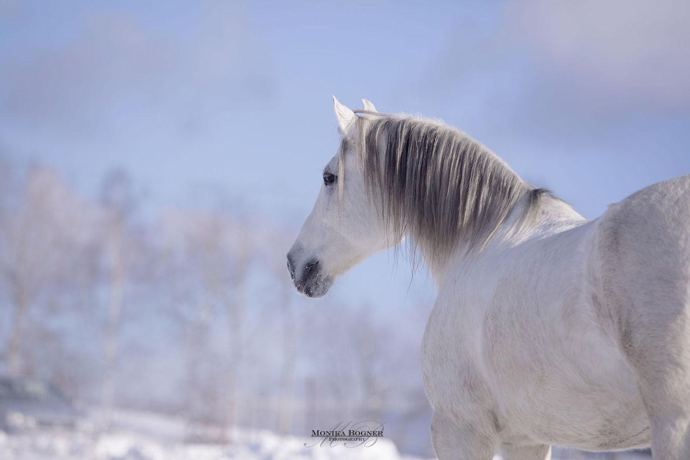 PRE, Spanier im Schnee