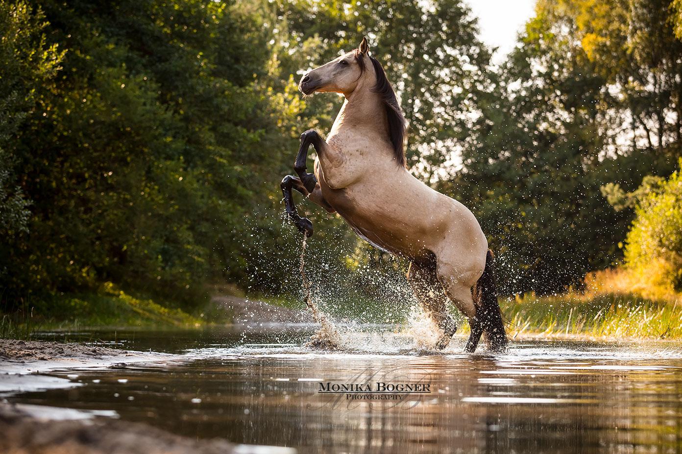 Lusitano  Pferd