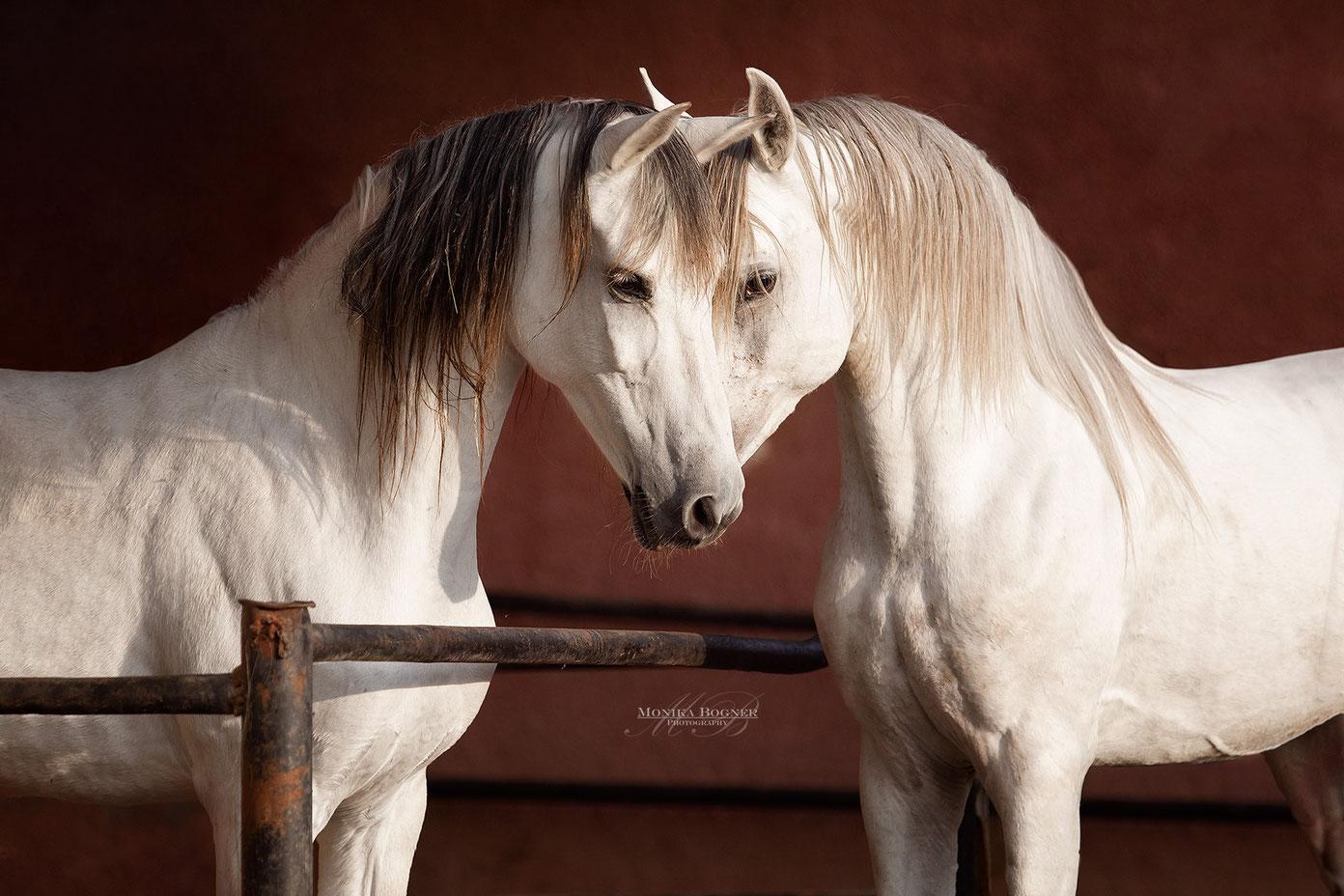 Pferdeshooting, zwei Araber, Hengst und Stute, Schimmel