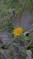 Yaconblüte, ähnlich wie die der Sonnenblume