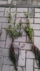 Forstpflanze Küstentanne