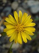 #7 キク科の花
