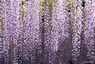 四季の花:藤