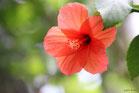 アオイ科の花