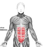 anatomie spieren buik buikspieren