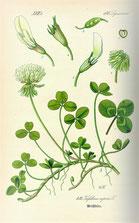 Planche botanique du trèfle.