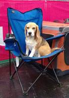 Ein Beaglechen wartet auf seinen Auftritt im Showring.