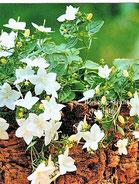 Weiße Glockenblume, Foto: Ilona M. Schütt, www.basenfasten-hamburg.net