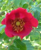 Rose/Strauchrose, Foto: Ilona M. Schütt, www.basenfasten-hamburg.net