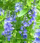 Blaue Sommerblume, Foto: Ilona M. Schütt, www.basenfasten-hamburg.net