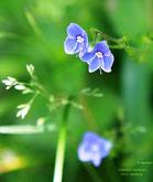 Alpenblume, Foto: Manfred Kaufmann, HH, Lizenz: www.basenfasten-hamburg.net