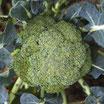 Brocolis bio