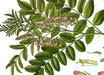 Glycerrhia glabra - ( Madhuka, Süßholz)